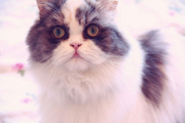 Furby chat persan